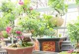 Độc đáo hoa hồng xanh ở làng hoa Mê Linh