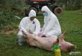 Nghệ An tiêu hủy 28 con lợn bị dịch tả châu Phi