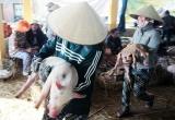 Nhọc nhằn nghề bế heo thuê ở Quảng Nam
