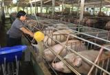 Chính thức cấm và xử phạt nặng nếu dùng Cysteamine trong chăn nuôi