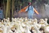 Báo động nguy cơ dịch cúm gia cầm phát sinh và lây lan