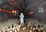 Ghi nhận ổ dịch cúm gia cầm mới tại Cao Bằng