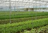 Nông dân chính hiệu trồng rau sạch trong nhà kính