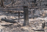Nghịch lý đốt trụi hàng chục hecta rừng để... trồng rừng