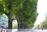 Hàng xà cừ cuối cùng trên đường Kim Mã trước giờ di dời