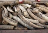 Hà Nội: Tịch thu 350kg ngà voi châu Phi