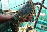 Tôm hùm, cá bóp chết hàng loạt, người nuôi chớp mắt mất tiền tỉ