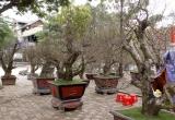 Những cây đào 'khủng' rục rịch lên phố đón Tết