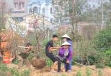 Sau tết, người trồng đào Nhật Tân hối hả vào vụ mới