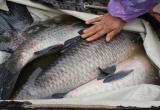 Cá trắm đen loại 'khủng' khó mua cho dịp Tết