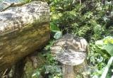 Khởi tố vụ 'xẻ' rừng nghiến cổ thụ tại Điện Biên