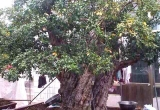 Chiêm ngưỡng cây Lựu 'hoàng đế' 600 năm tuổi, được ngã giá 10 tỷ đồng