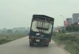Bắc Giang: Xe tải chở lợn nghiêng 45 độ vẫn chạy băng băng trên đường khiến nhiều người khiếp vía