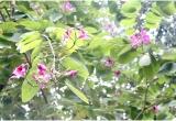 Hà Nội: Ngắm những chùm hoa ban chớm nở đầu mùa