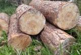 Lâm Đồng: Lâm tặc lộng hành đốn hạ hàng chục m3 gỗ thông