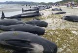 Kì lạ: Hơn 400 con cá voi mắc cạn ở New Zealand sau một đêm