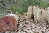 Gia Lai: Khởi tố vụ lâm tặc đốn hạ trên 23 m3 gỗ bằng lăng