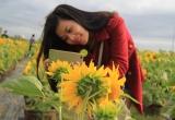 Giới trẻ Đà Thành thích thú với vườn hoa Hướng Dương độc đáo.