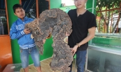 Nấm linh chi 'khủng' có hình giống bản đồ Việt Nam