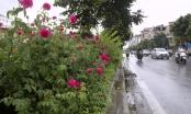 Con đường hoa hồng đầu tiên ở Hà Nội