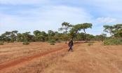 """Vụ hạ 4.000 cây thông để xây sân golf tại Gia Lai: """"Làm sân golf chỉ là học đòi"""""""