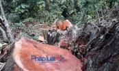 Chùm ảnh - Tận diệt rừng đầu nguồn ở Yên Bái