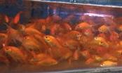 Thăm làng cá chép dịp Tết ông Công, ông Táo