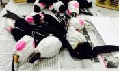 TP HCM: Giấu chim quý trong quần để vận chuyển ra nước ngoài