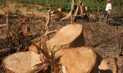 Điện Biên: Nhắm mắt, bịt tai khi rừng nghiến kêu cứu