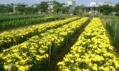 Hà Nam: Làng hoa Phù Vân sẵn sàng đón Tết