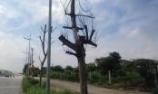 Hà Nội: Hàng loạt cây xanh không còn sức sống trên đường nghìn tỉ