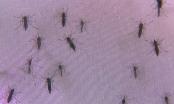 Cận cảnh khu nuôi nuỗi Wolbachia mang vi khuẩn ngừa sốt xuất huyết
