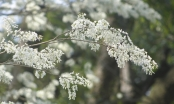 Chùm ảnh: Hà Nội những ngày hoa sưa nở trắng các con phố
