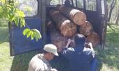 Lâm Đồng: Lâm tặc đưa ôtô vào cưa trộm thông cổ thụ hàng chục năm tuổi