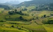 Rộn rã mùa vàng dưới thung lũng Hoàng Liên Sơn
