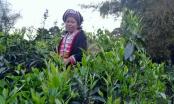 Chè Shan tuyết Hà Giang được cấp giấy chứng nhận chỉ dẫn địa lý