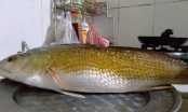 Thừa Thiên Huế: Bắt được cá có màu vàng óng nghi là cá sủ vàng quý hiếm