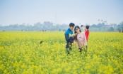 Ngắm sắc vàng thắm rực rỡ cánh đồng hoa cải Thái Bình