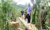 Nghệ An: Lợi dụng khoanh nuôi chặt phá hàng nghìn m2 rừng tự nhiên