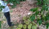 Lâm Đồng: Hái trộm sầu riêng bị chủ nhà chém tử vong