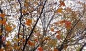Hải Dương: Về chùa Thanh Mai ngắm rừng phong lá đỏ