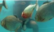 [Clip]: Dùng cơ thể để thử độ phàm ăn của cá Piranha