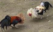 """Cà Mau: """"Bể"""" trường gà, 24 con bạc bị bắt"""