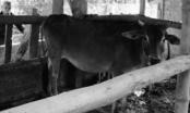 Quảng Ngãi: Tỉnh cấp bò cho dân, xã đứng ra thu tiền để... xoay vòng vốn