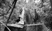 Quảng Nam: Xẻ thịt rừng già, bao giờ thì lâm tặc rưng rưng nước mắt?