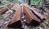 """Kom Tum: """"Thả nổi"""" cho rừng phòng hộ Đăk Long bị """"xẻ thịt"""""""