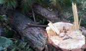 Lâm Đồng: Hàng chục cây thông lâu năm bị lâm tặc đốn hạ nằm ngổn ngang trong rừng
