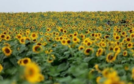 Lễ hội hoa hướng dương lớn nhất Việt Nam sẽ diễn ra cuối tháng 12