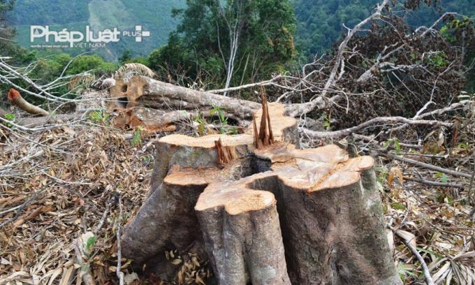 Một cây rừng có tuổi đời trên 10 năm bị chặt còn trơ gốc. Theo thống kê có cả chục gốc cây có đường kính 50 đến 60 cm bị phá tại đèo Mũi Trâu.Chính quyền địa phương sẽ tổ chức họp dân để tiếp tụctuyên tuyền, yêu cầu người dân ký cam kết không được chặt hạ cây rừng tự nhiêntrên phần đất được giao.Đối với số lượng cây rừng tự nhiên bị đốn hạ, trong thờigian đến, Hạt Kiểm lâm Hòa Vang sẽ tổ chức kiểm đếm để có biện pháp xử lýphù hợp.