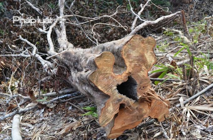 Trước mắt, lực lượng liên ngành đã đình chỉ việc phát dọnthực bì của người dân. Đồng thời bố trí lực lượng gần 10 người (gồm Kiểm lâmvà lực lượng quản lý, bảo vệ rừng xã Hòa Bắc) túc trực ở khu vực đèo Mũi Trâuđể kiểm tra, giám sát thường xuyên, ngăn chặn không để xảy ra tình trạng ngườidân tiếp tục phát dọn thực bì, chặt phá cây rừng tự nhiên.
